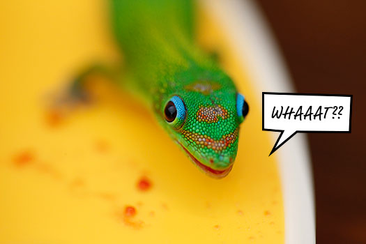 Gecko_What